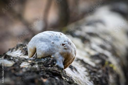 Piptoporus betulinus - woodsfailing, edible, healthful mushroom Plakát
