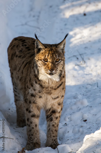 Poster Lince Europea