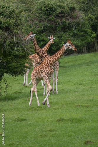 Poster photo of three Rothschild Giraffes with trees in the background