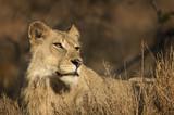 Regal lioness enjoying sunny morning
