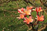 Plumeria in the garden