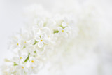 Lilac (Syringa) flowers on white background. Place for text. - 139958233