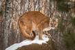 Adult Female Cougar (Puma concolor) Crouches on Snow Covered Rock