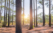 stem pine tree in pine forest with sunrise