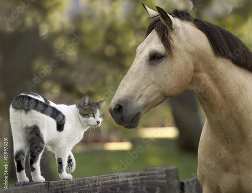 Mustang horse encounters a cat friend walking on pasture fence Poster