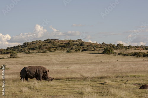 Rhino in the wild