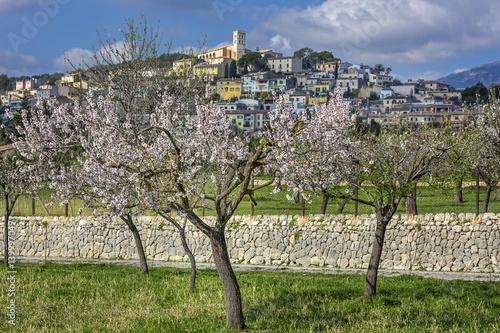 Poster Mandelblüte auf Mallorca