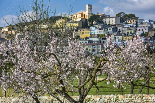 Mandelblüte auf Mallorca Poster