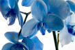 Beautiful blue orchid flowers isolated on white background.