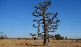 Baobab du Sénégal