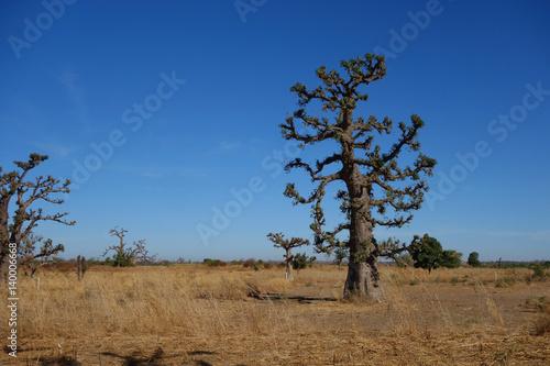 Fotobehang Baobab Baobab du Sénégal