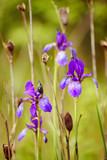 Violet iris flower growing in nature, summer seasonal floral background