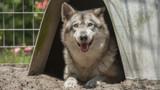 captive hybrid wolf dog