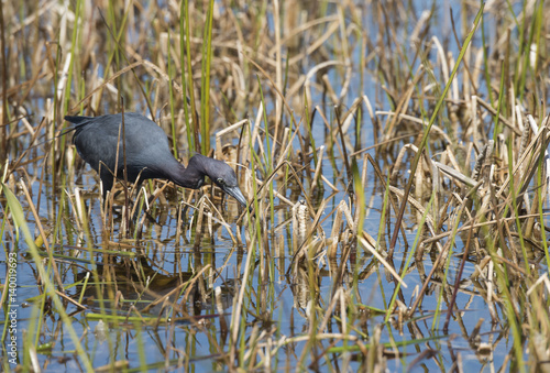 Little Blue Heron actively feeding in marsh wetlands Poster