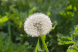Seed head of the dandelion on the grass background