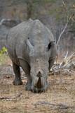 rhino walking free in savannah