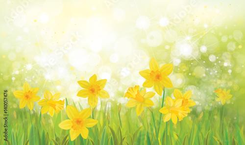 Wektorowy żółty daffodil kwitnie tło.