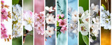 Beautiful blooming Cherry flowers closeup macro set - 140060880