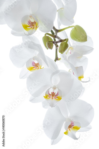 White orchid flowers hanging