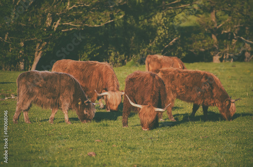 Poster Scotland highland hairy red cows grazing at the green summer meadow, agricultura
