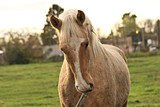 Cute young palomino horse in a field