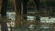 elephant walking through water