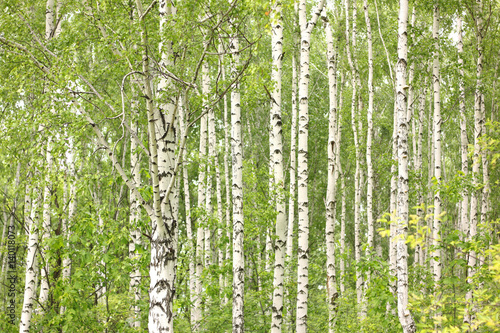Papiers peints Bosquet de bouleaux Birch tree trunk. Young green leaves on branches of birch. Birch forest in sunlight in the morning.