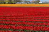 Tulip Culture, Netherlands