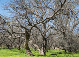 Mesquite Trees and Grass-Catalina State Park-Tucson