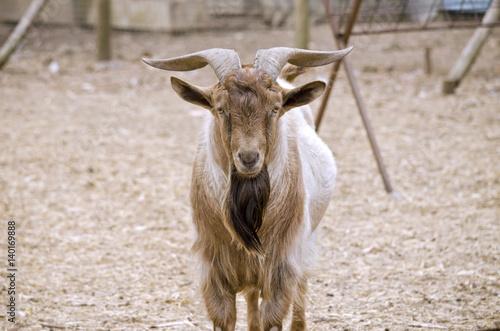 Poster goat