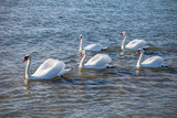 Swans swimming on the sea