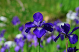 Iris flowers at Japanese garden, Kyoto Japan アヤメ 日本庭園 京都