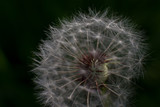 Macro seeds of dandelion illuminated by sun