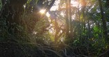 Sun light rays in deep forest. Wilderness nature landscape background of highland rainforest with large twisted trees overgrown by moss. Wide angle panoramic camera view and sounds on nature - 140200679