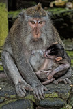 puppy newborm Indonesia macaque monkey ape close