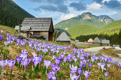 Fototapety, obrazy : Tatra Mountains, crocuses in the Chocholowska Valley, Kalatowki Valley