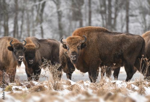 Aluminium Bison European bison (Bison bonasus)