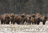 European bisons (Bison bonasus) - 140218404