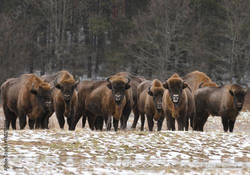 Fotobehang Bison European bisons (Bison bonasus)
