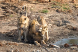 Adult male lion with two lionesses in Kruger