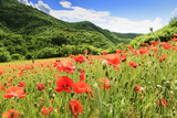 Picturesque poppy field in Marche Italy