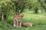Löwe am spielen