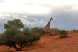 Постер, плакат: Giraffe in der Kalahari vor einem Gewitter