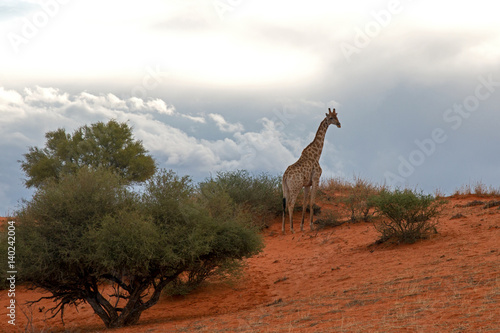 Poster Giraffe in der Kalahari vor einem Gewitter