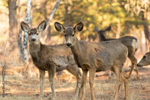 Poster Mule Deer in the Woods