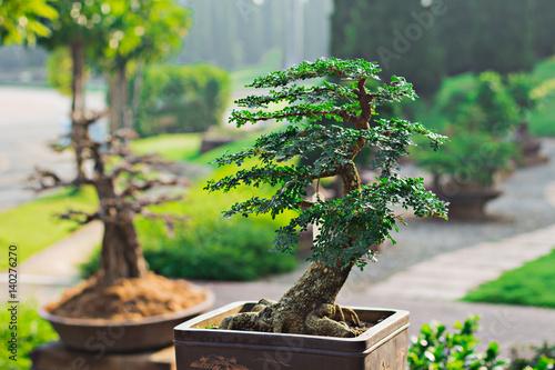 Poster Bonsai banyan tree