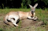 Young kangaroo in a natural habitat