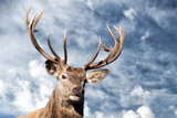 male red Deer portrait looking at you
