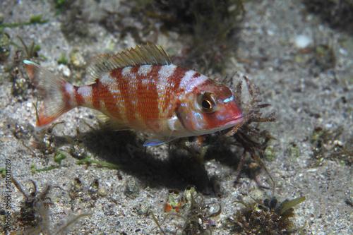 Poster Red pandora fish