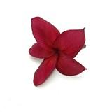 Red frangipani on white background